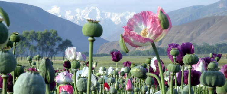 Afghanistan Poppies - photo courtesy of University of Oregon